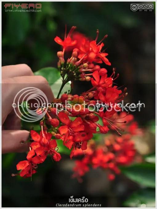 เข็มเครือ, เข็มเลื้อย, พวงแก้วแดง, Clerodendrum splendens, ไม้เลื้อย, ไม้เถา, ไม้ดอก, ไม้ประดับ, ดอกสีแดง, ใบสวย, ต้นไม้, ดอกไม้, aKitia.Com
