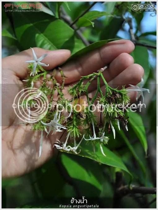 ช้างน้ำ, พุดแหลม, พุดปากเป็ด, Kopsia angustipetala, ไม้ไทย, ไม้ดอกหอม, ไม้หายาก, ต้นไม้, ดอกไม้, aKitia.Com