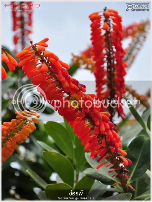 โนแรนเทีย, Norantea guianensis, ไม้แปลก, ไม้หายาก, ไม้เถา, ต้นไม้, ดอกไม้, aKitia.Com
