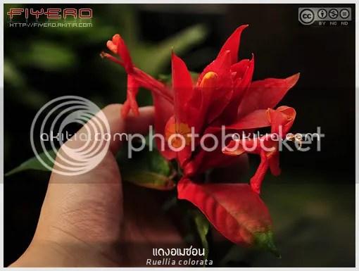 แดงอเมซอน, โนรี, Ruellia colorata, ดอกสีแดง, ไม้แปลก, ไม้หายาก, ไม้ดอกไม้ประดับ, ต้นไม้, ดอกไม้, aKitia.Com