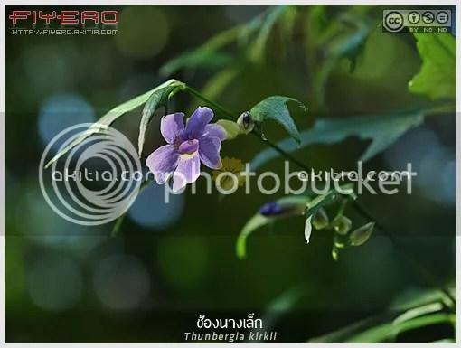 ช้องนางเล็ก, ทันเบอร์เกียใบหยัก, Thunbergia kirkii, Blue Sky Shrub, ไม้พุ่ม, ไม้ดอก, ไม้ประดับ, ดอกสีม่วง, ใบสวย, ต้นไม้, ดอกไม้, aKitia.Com