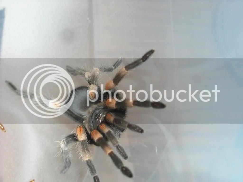 reputable dealer archive tarantulas