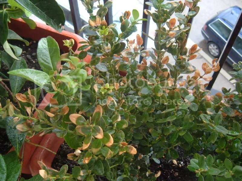 Buxus con foglie gialline e nuove verdi  Forum di