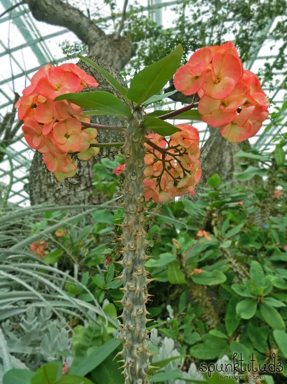 Thorns of Christ at Flower Dome Gardens by the Bay