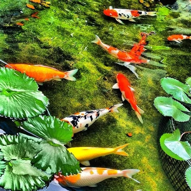 Koi Swimming