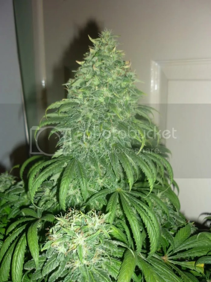 Super Bud Cannabis Strain, Super Bud Cannabis Strain Review