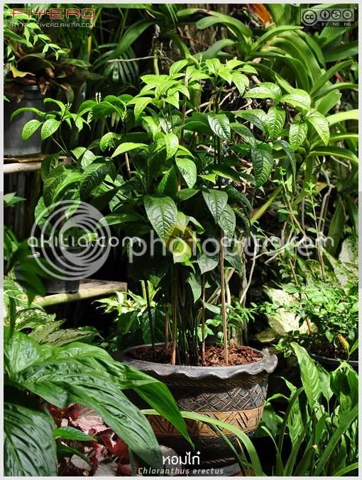 หอมไก๋, กระดูกไก่, หอมไก่, Chloranthus erectus, ไม้พุ่ม, ไม้ดอกหอม, ไม้ไทย, ไม้แปลก, ไม้หายาก, ไม้ดอก, ไม้ประดับ, ดอกสีขาว, ต้นไม้, ดอกไม้, aKitia.Com