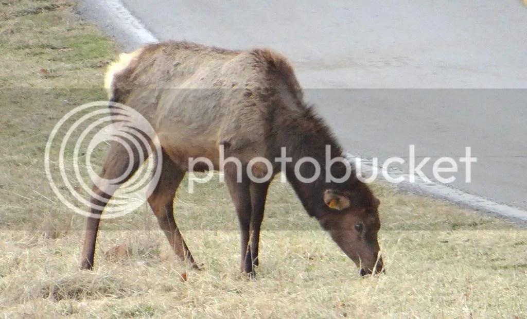 Elk fawn 090213 stl photo DSC00595.jpg