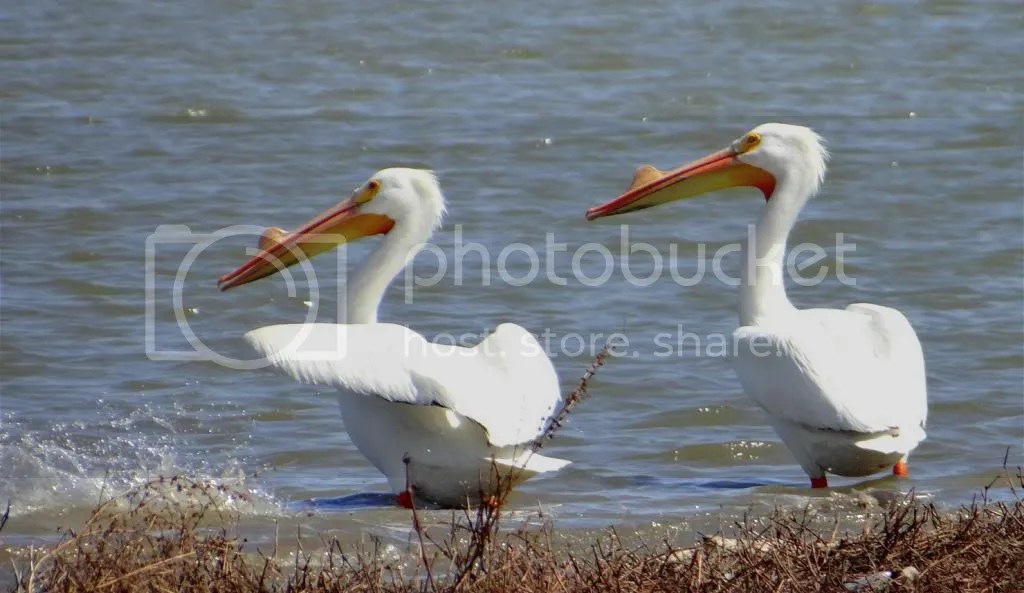 3 pelicans trash bash 230313 photo DSC02146.jpg