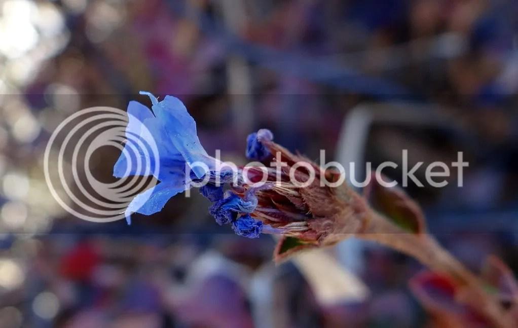 Blue wldflwr 211112 Bhutan