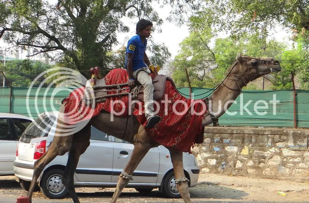camel pune 021212