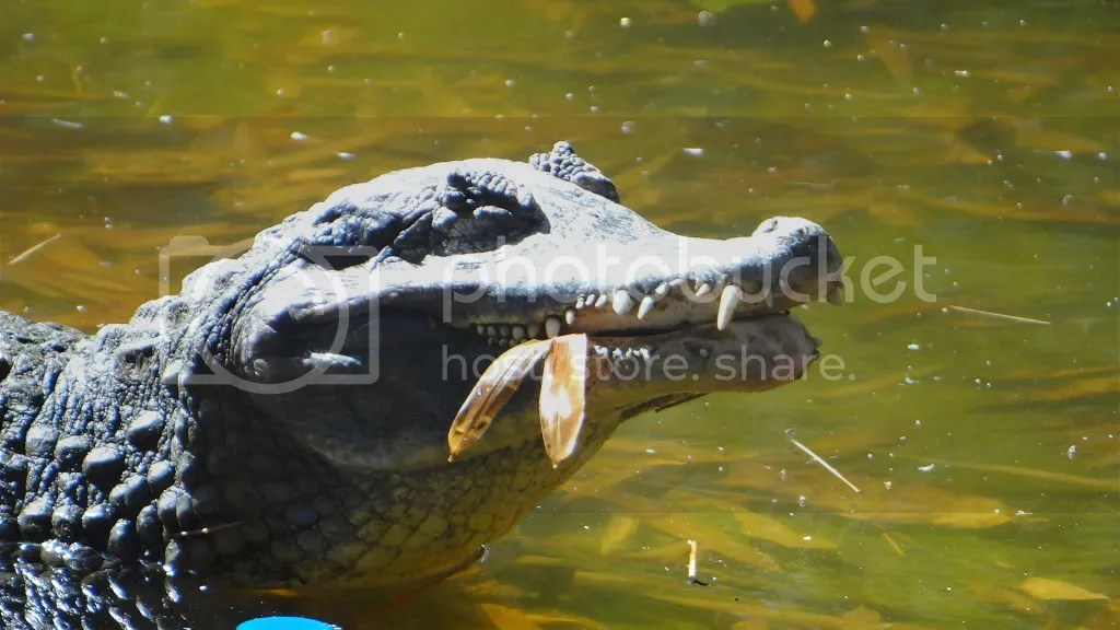 lfeating croc 060113 bgz