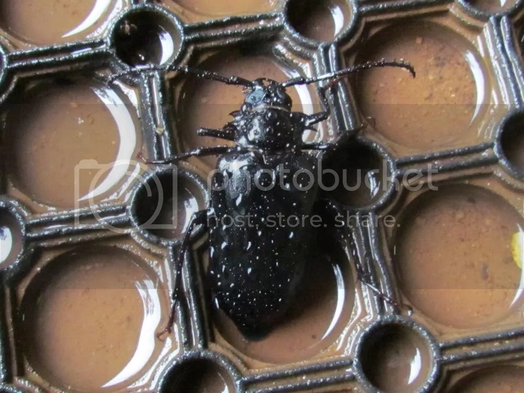 smaller beetle bg 090812