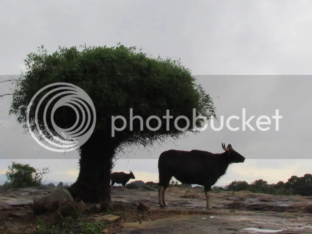 gaur and calf bg 090812