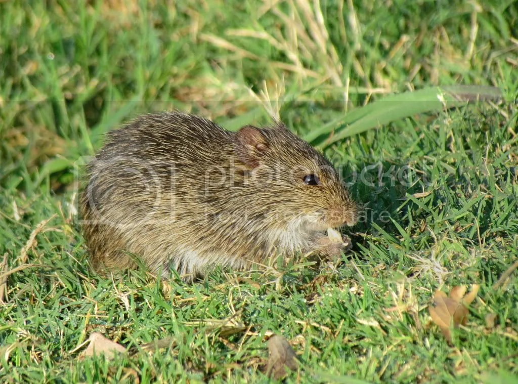 meadow vole  sunset memphis 180612