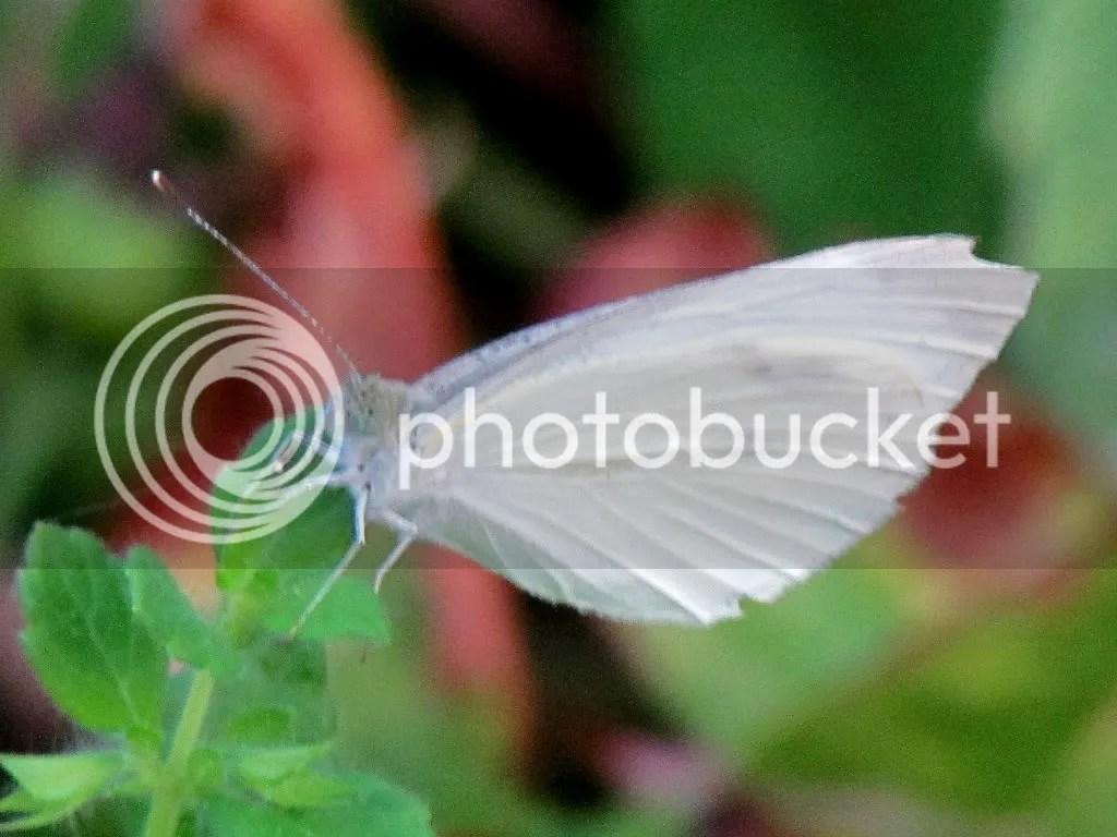white bfly  fp 300612