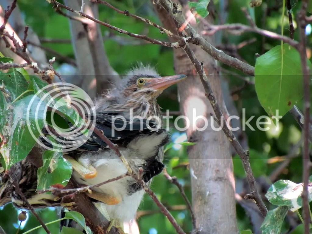 een heron nestlings 050712 fp