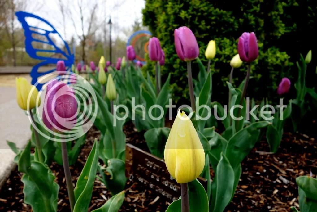 photo Meijer Gardens Tulips_zpsh47yvmjj.jpg