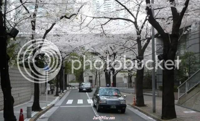 Sakuras en flor en Tokio