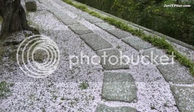 Pétalos de sakura en el suelo (Paseo de la filosofía, Kioto)