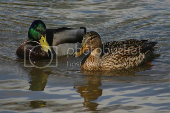 ducks photo: Ducks at Queens Park 20130321-2027HBD-01_zps0b9154fd.jpg