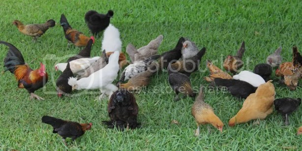Causes of Common Problems of Hens