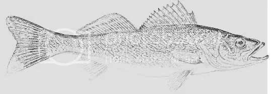 fish- walleye coloring pages