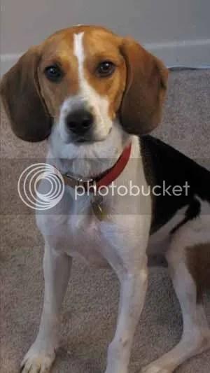 Mr. Brown - Beagle