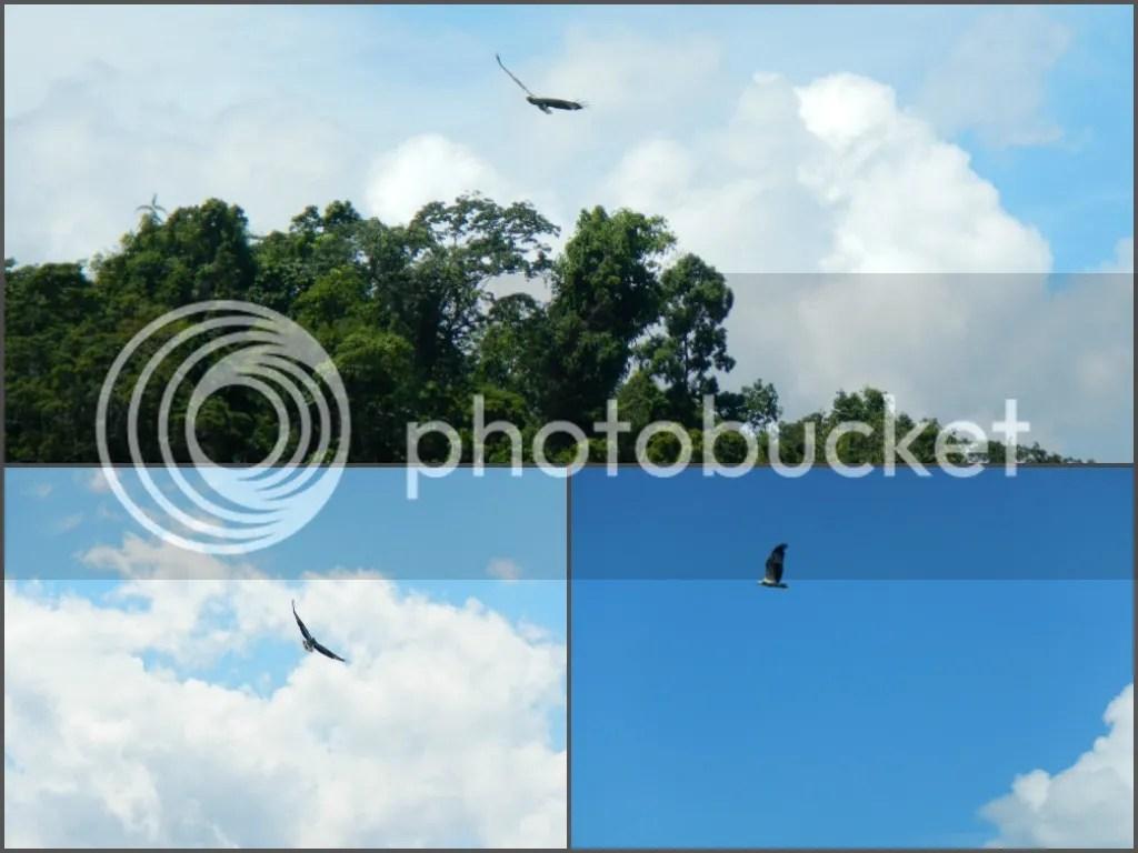 Palawan White Bellied Sea Eagle