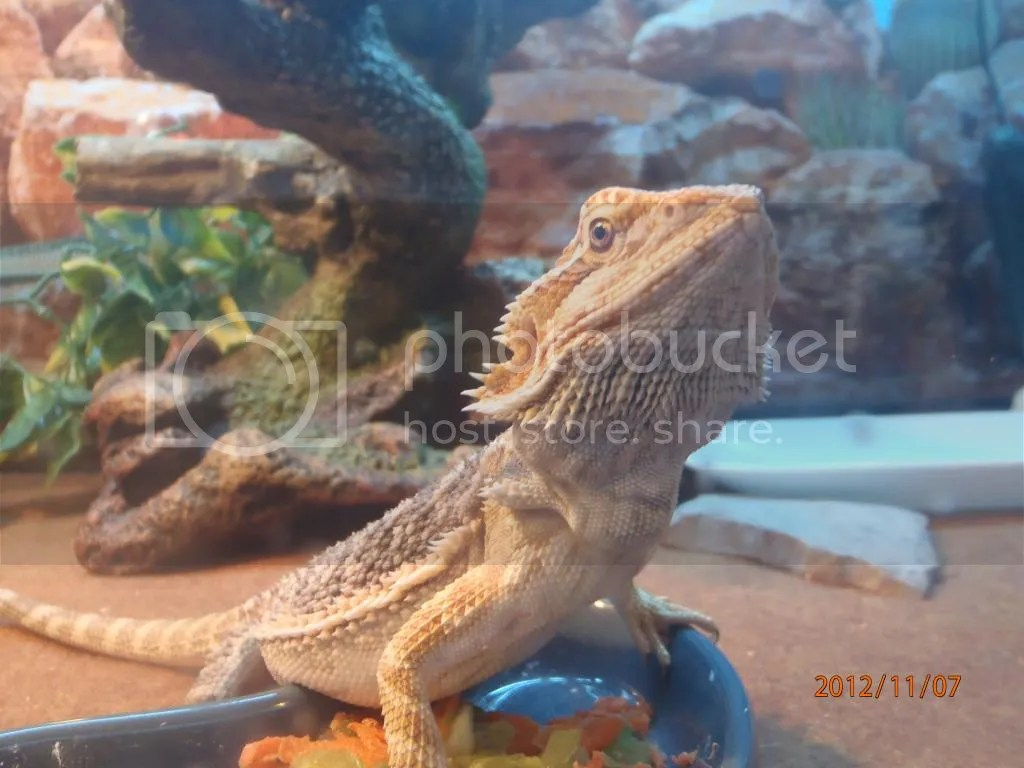 I M Looking For Photos Bearded Dragon Org