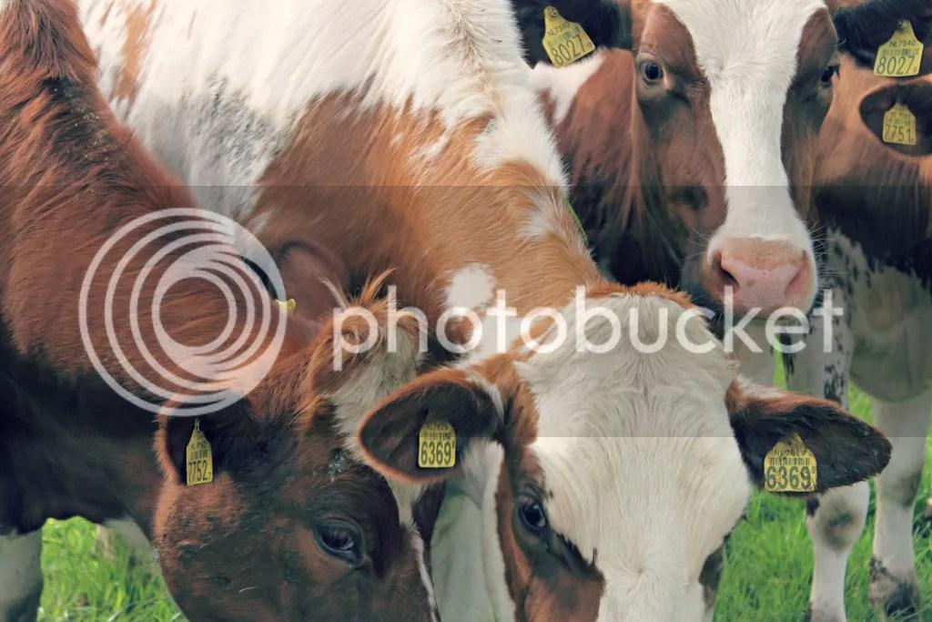 photo cows07_zps26uumxfc.jpg