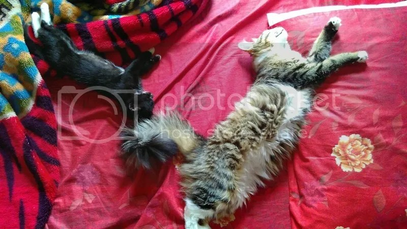 Taking Care of Two Cats | Hola Darla