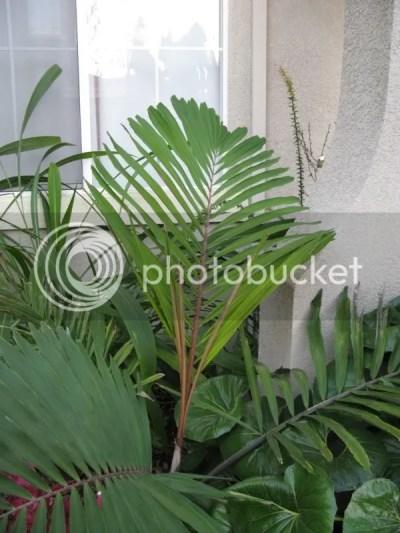 Arenga micrantha