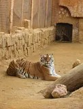 tiger_oasyszoo.jpg