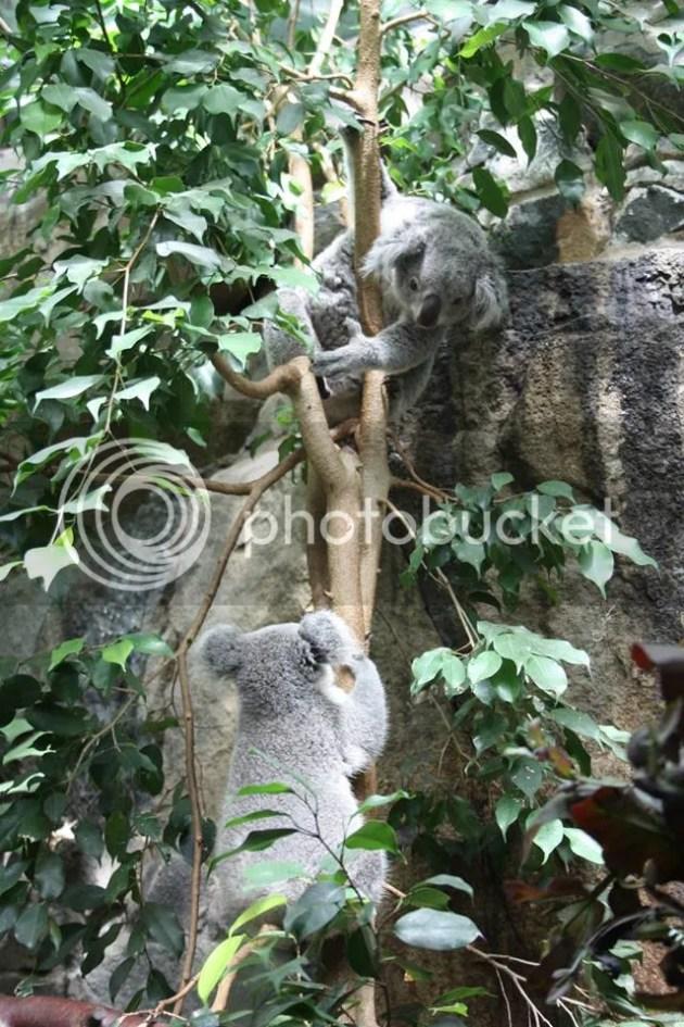 photo Koala_zps1af43b7c.jpg