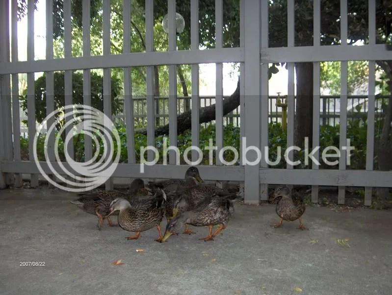 Da Ducks