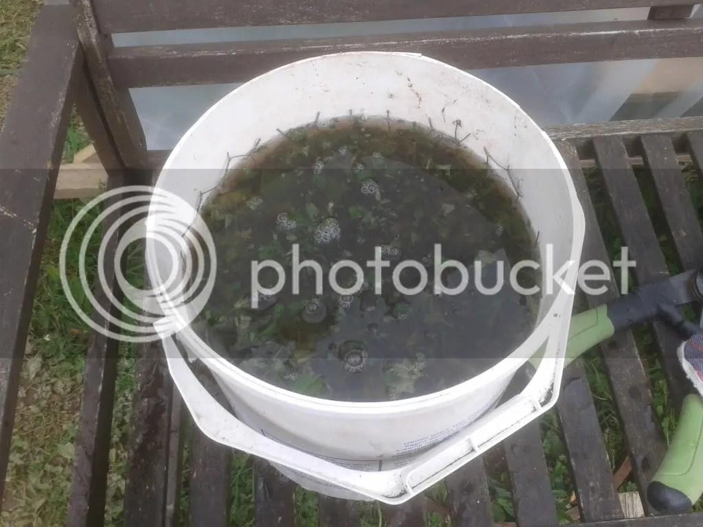 Nettle tea brewing away to make fantastic nitrogen rich plant feed.