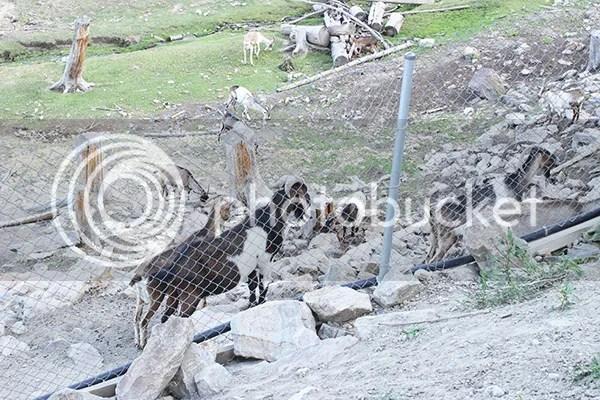 photo goat3_zpsb8688d6b.jpg
