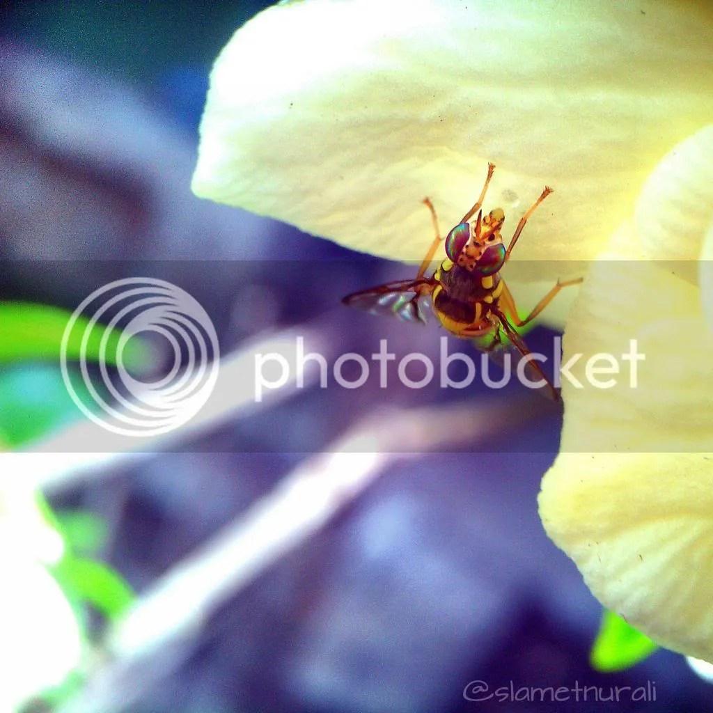 lalat tawon