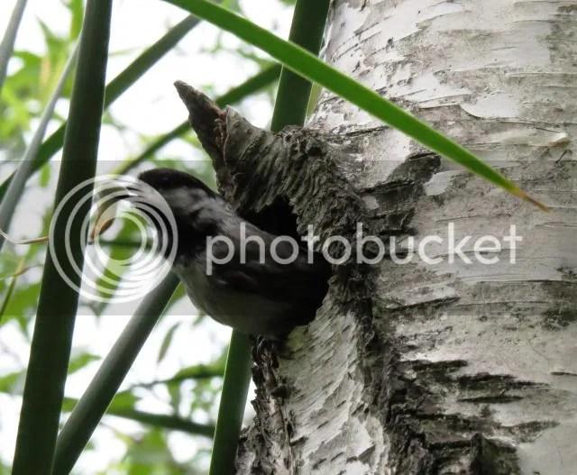 Chickadee with Fecal Sac from Nest Hole photo ChickadeeatNestHolewithFecalSac_zps4817293c.jpg
