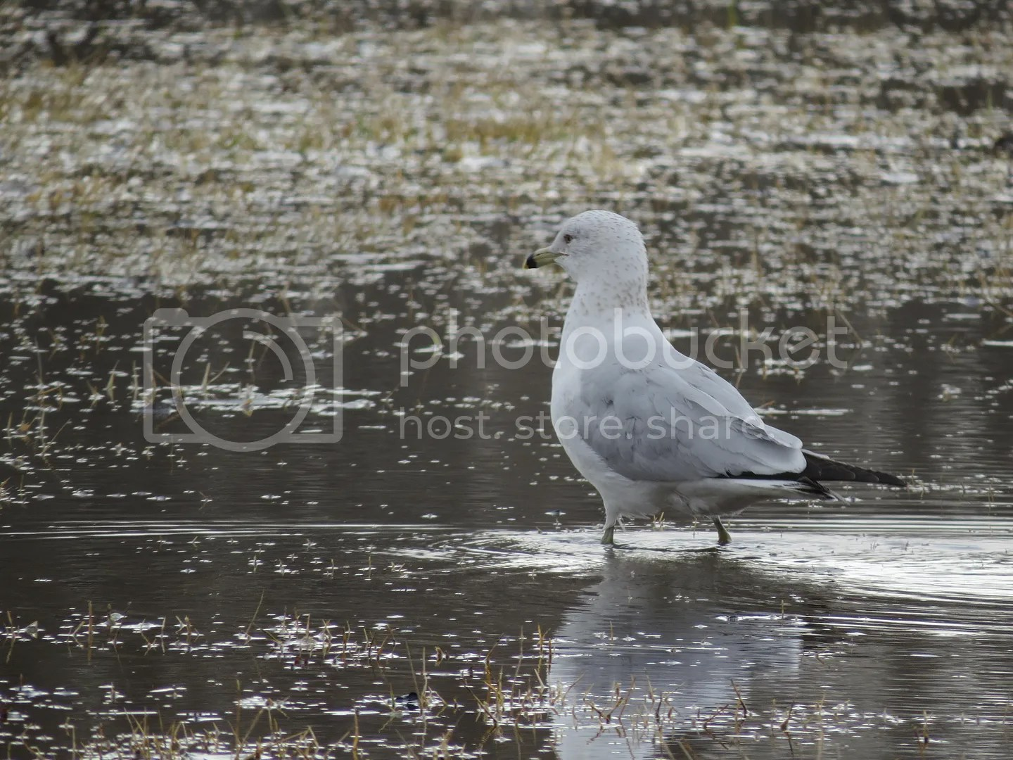 River Raisin Ice Jam 2015 - Gull in the Outfield photo Gull in the Watery Outfield_zpsn4jvwr1p.jpg