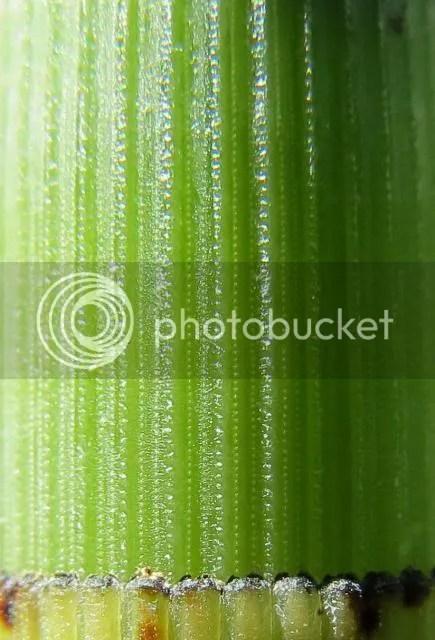 Horsetail Stem Detail photo HorsetailStemDetail_zps8f7b173d.jpg