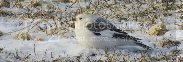 Snow Bunting photo IMG_2505_zpsadqw8euo.jpg