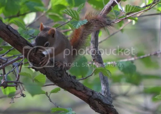 Curious Young Red Squirrel photo IMG_2905_zpswjnwaa2i.jpg