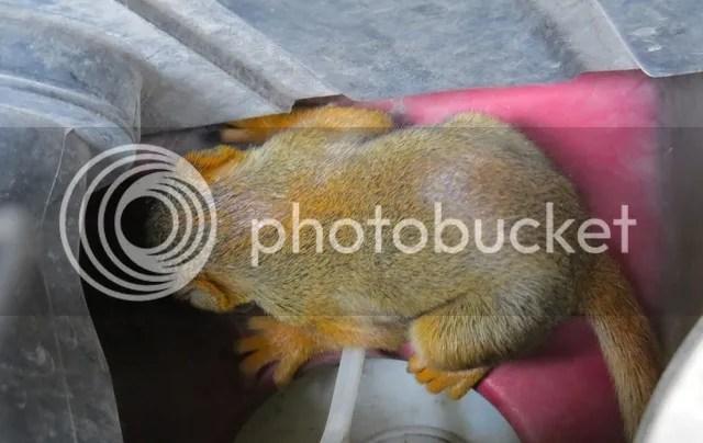 Baby Red Squirrel 3 photo IMG_2954_zpsyq1ljnxh.jpg
