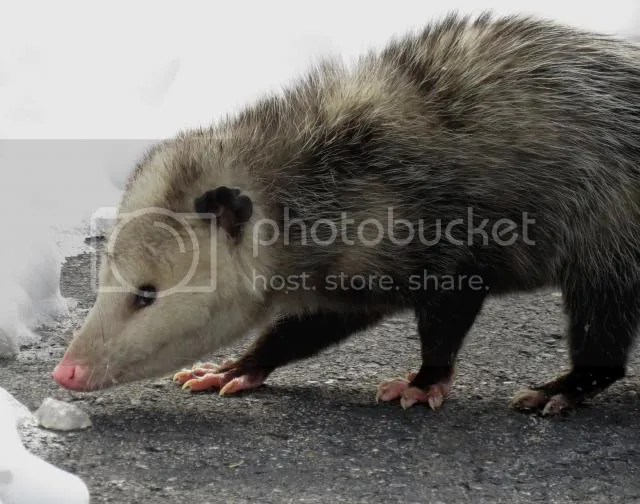 Opossum crossing the Road photo IMG_3401_zps2b8ede32.jpg