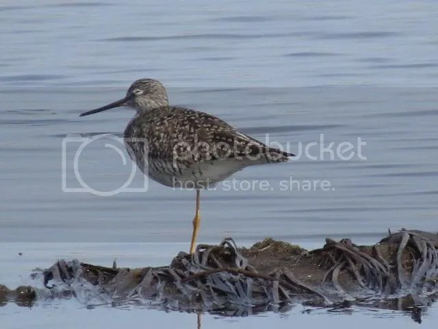 Lesseer Yellowlegs photo IMG_3677_zps923f73e0.jpg
