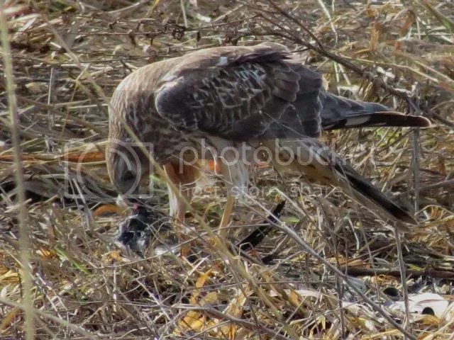 Norhthern Harrier feeding photo IMG_3713_zpsdeec3ef0.jpg