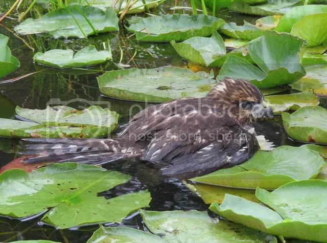 Immature Broad-winged Hawk in the Water photo IMG_3803_zpsi2gklede.jpg