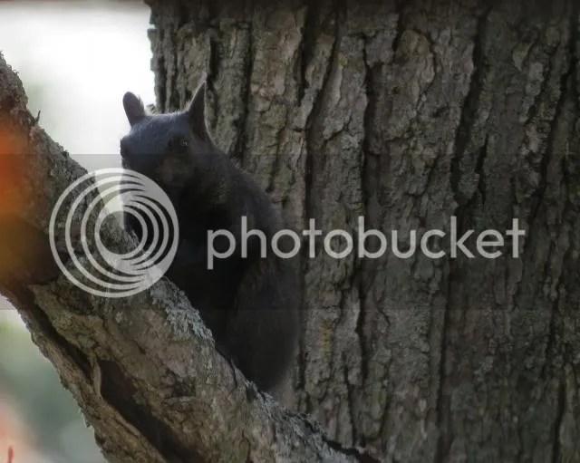 Dollar Lake Black Phase Gray Squirrel photo IMG_4239_zps6f739a9d.jpg